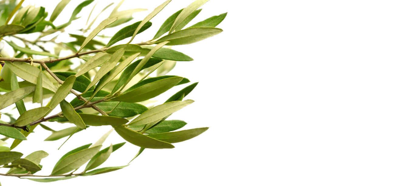 Ramo de hojas de olivo